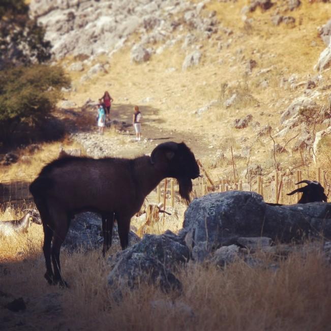 2013.09.15_11.43.38_P1080128-Goats(1)